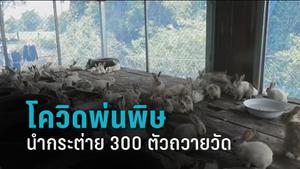 โควิด-19 พ่นพิษโยมนำกระต่าย 300 ตัวถวายวัด ให้คนอยากเลี้ยงนำไปดูแลต่อ
