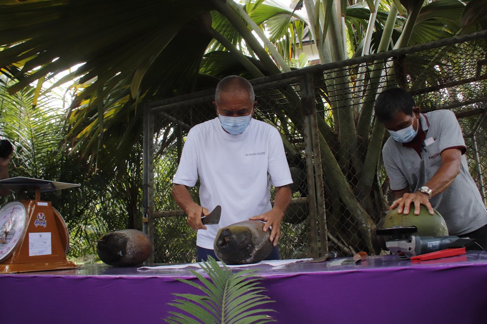สวนนงนุชพัทยา ผ่ามะพร้าวก้นสาว หายากที่สุดในโลก มูลค่าเกือบแสน ให้นักท่องเที่ยวชิมฟรี