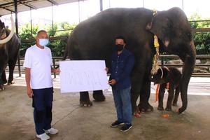 """แม่ช้างปางช้างสวนนงนุชพัทยาฝ่าวิกฤติโควิด-19 เบ่งคลอดลูกเชือกที่ 98 เพศผู้ เชือกแรกของปี 2564 ชื่อ """"พลายเพิ่มพูน"""""""