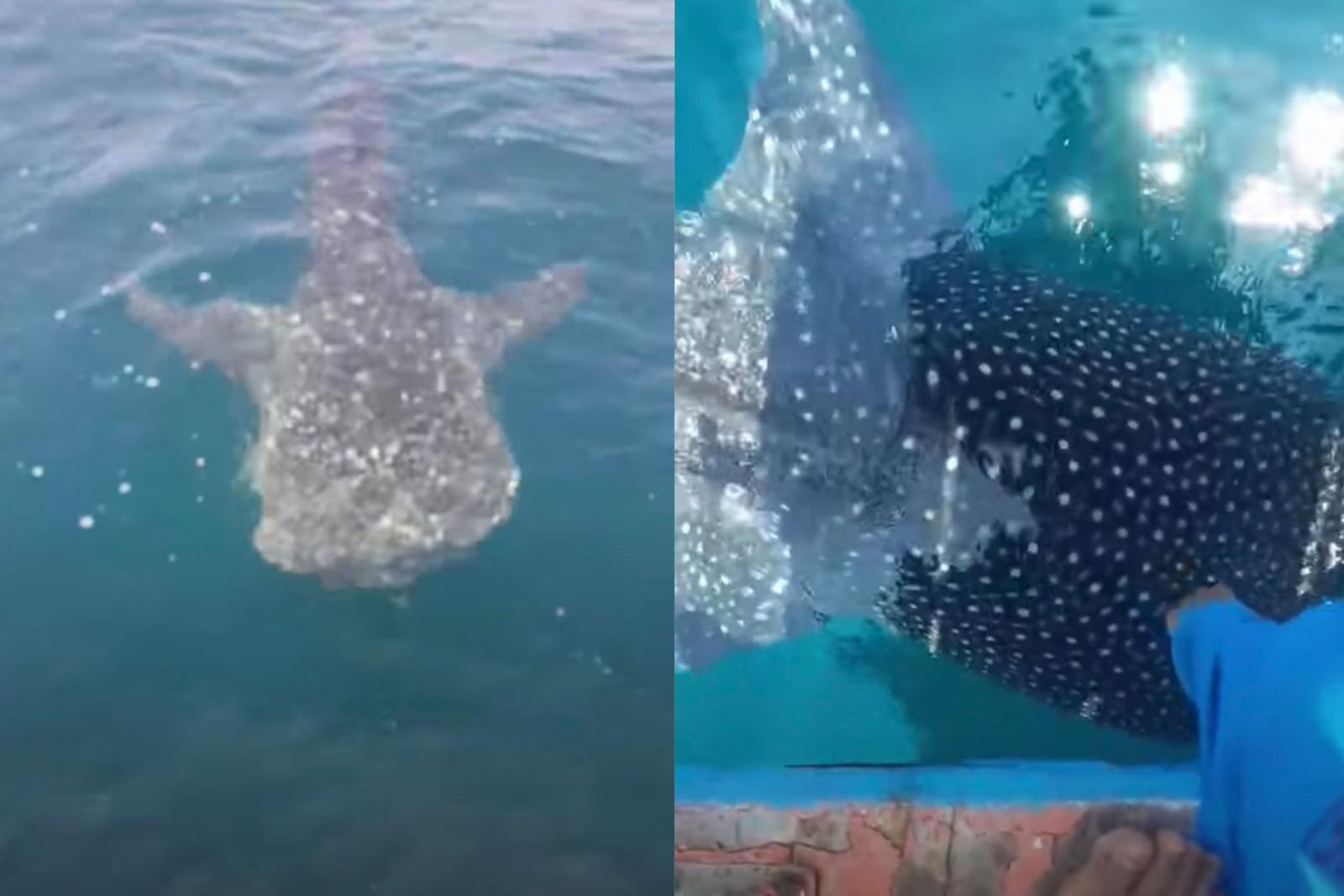 หนุ่มประมงตื่นเต้น ฉลามวาฬโผล่กลางอ่าวพัทยา อัดคลิปลงโซเชียล