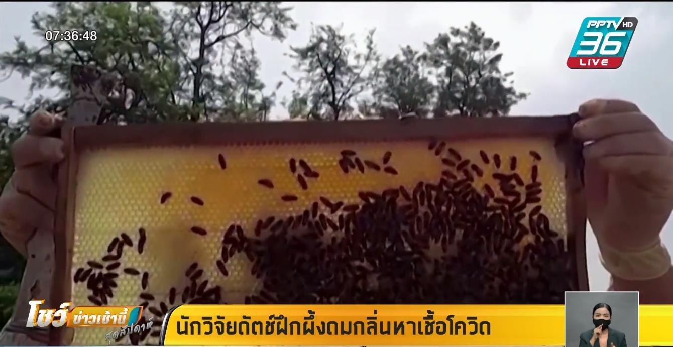 นักวิจัยดัตช์ ฝึกผึ้งดมกลิ่นหาเชื้อโควิด-19