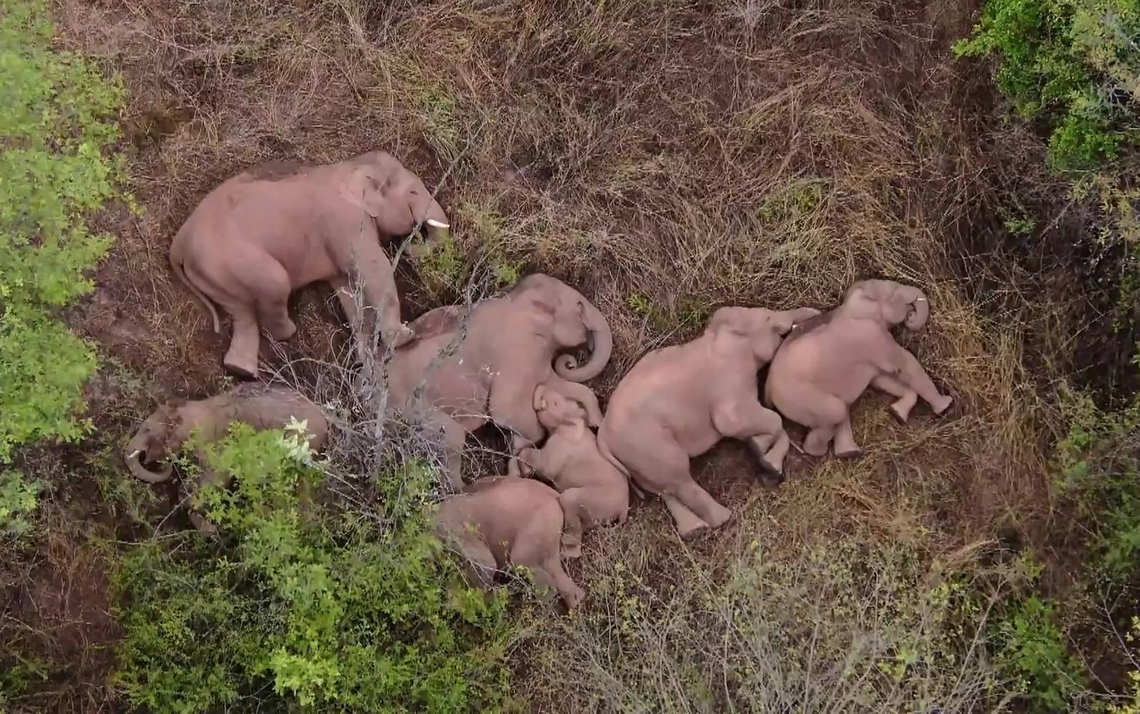 ไขปริศนา ทำไมช้างป่าในจีนต้องเดินทางไกล 500 กิโลเมตร?