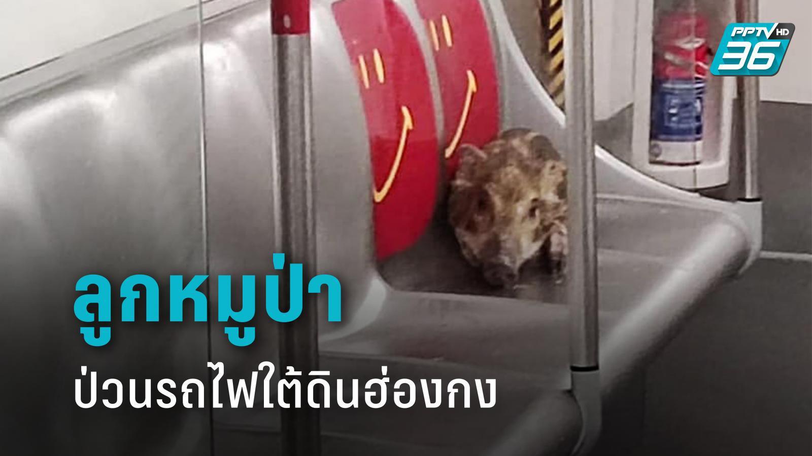 ลูกหมูป่าสุดป่วน บุกขึ้นรถไฟใต้ดินฮ่องกง จนท.ไล่จับวุ่น