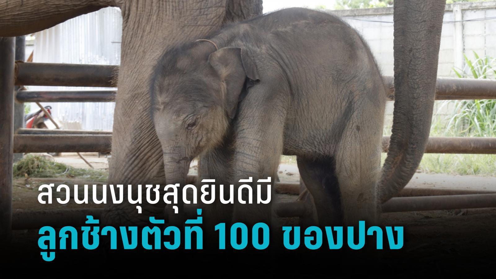 คลอดแล้ว!! 'พลายใบชา' ลูกช้างตัวที่ 100 ของปางช้าง สวนนงนุชพัทยา