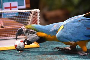 นกแก้วมาคอว์ ทำนายผลแชมป์ฟุตบอลยูโร 2020