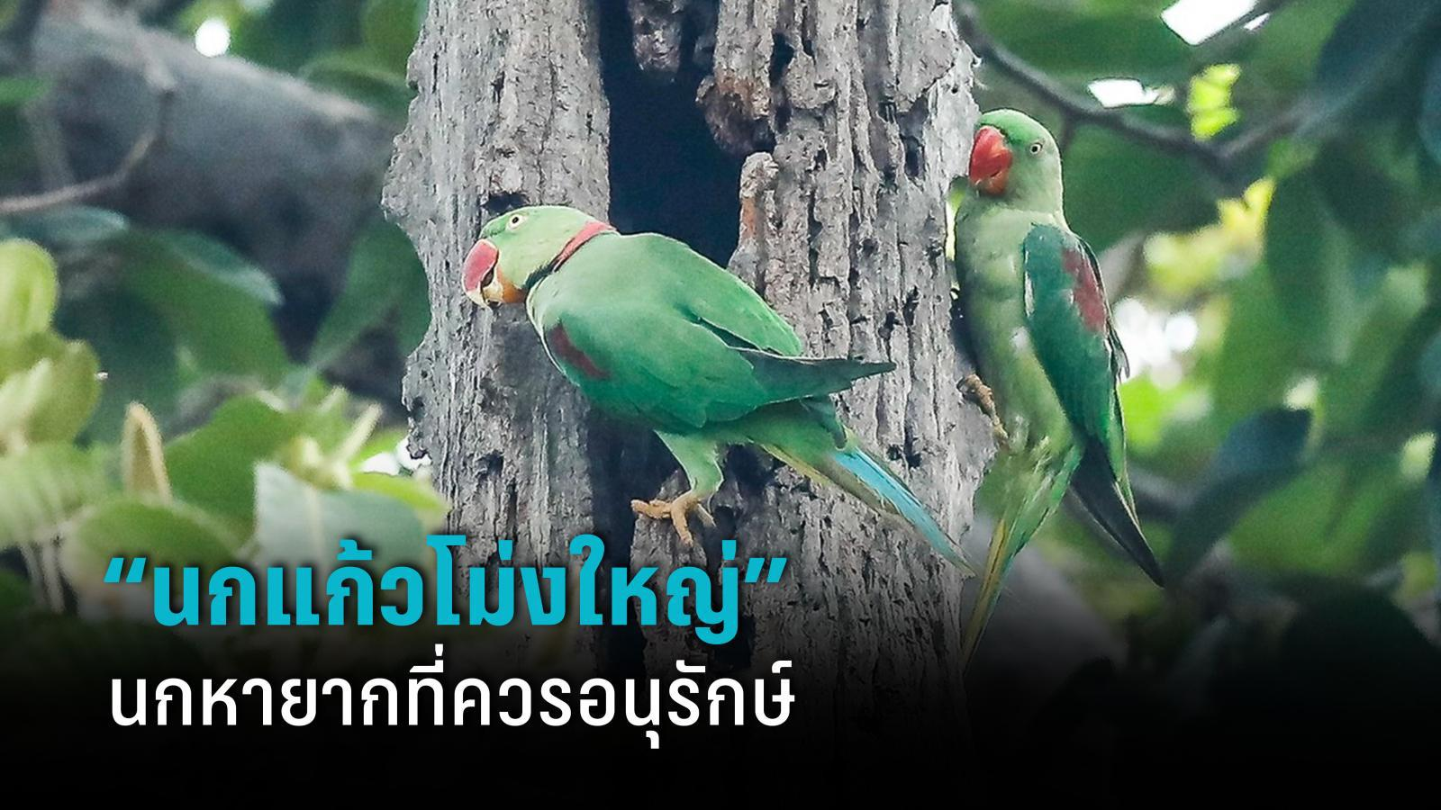รู้จักนกแก้วโม่ง นกหายากที่คนพื้นที่ควรช่วยกันอนุรักษ์