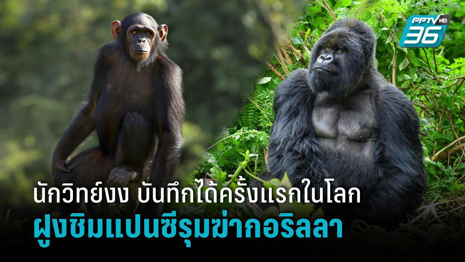 นักวิทย์งง บันทึกได้ครั้งแรกในโลก ฝูงชิมแปนซีรุมฆ่ากอริลลา