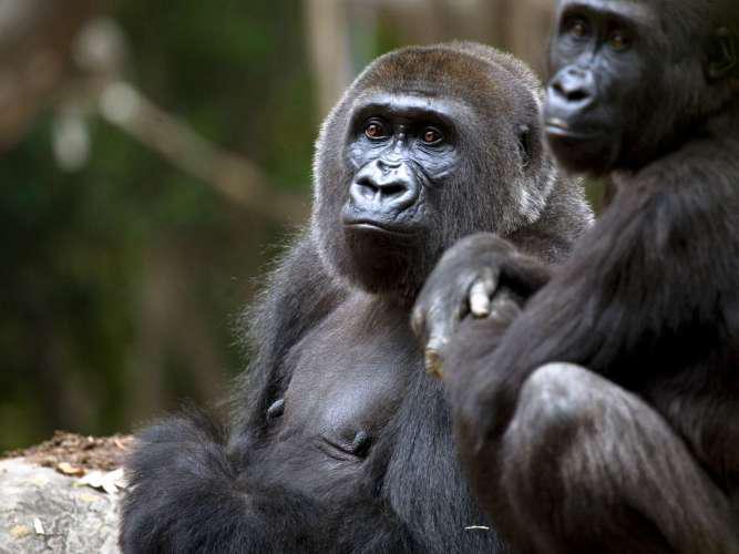 กอริลลา 13 ตัวในสวนสัตว์แอตแลนตา มีผลตรวจโควิด-19 เป็นบวก