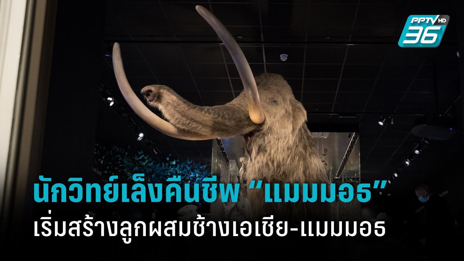"""นักวิทย์เล็งคืนชีพ """"แมมมอธ"""" เริ่มสร้างลูกผสมช้างเอเชีย-แมมมอธ"""