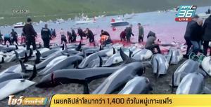 """เผยคลิปล่า""""โลมา""""กว่า 1,400 ตัวในหมู่เกาะแฟโร"""