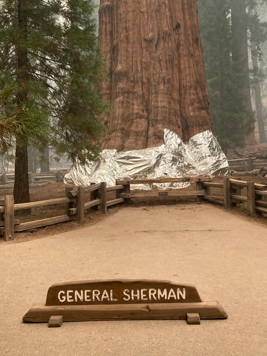 จนท.สหรัฐฯ ปกป้องต้นไม้ที่ใหญ่ที่สุดในโลกจากไฟป่าแคลิฟอร์เนีย