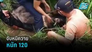 จับหมีควายหนัก 120 กก.หลงป่าชุมชน