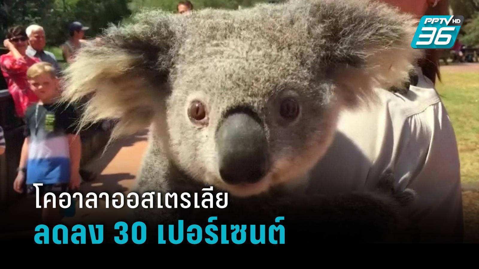 โคอาลาออสเตรเลียลดลง 30 เปอร์เซนต์