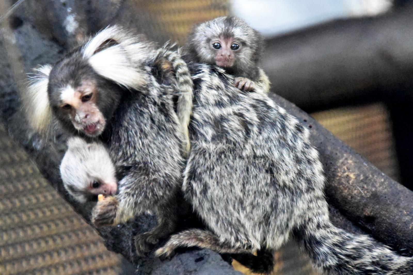ลิงจิ๋ว คอมมอนมาโมเซท  ออกลูกแฝด   3 ที่สวนสัตว์เขาเขียว